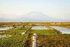 Campo dell'azienda agricola delle alghe in Indonesia Fotografia Stock
