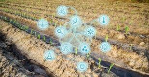 Campo dell'azienda agricola di giovane cavolo Giovani semenzali Innovazioni e nuove tecnologie nell'affare agricolo Developmen sc fotografia stock