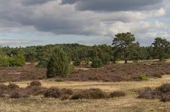 Campo dell'erica in Hoge Veluwe (Paesi Bassi) Immagini Stock