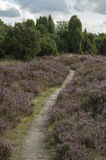 Campo dell'erica in Hoge Veluwe (Paesi Bassi) Immagine Stock
