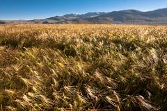 Campo dell'orzo all'intervallo di alte montagne Fotografia Stock Libera da Diritti
