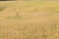 Campo dell'orzo della scena rurale di agricoltura Immagini Stock