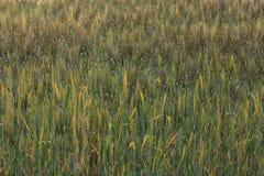 Campo dell'orzo della scena rurale di agricoltura Fotografie Stock