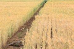 Campo dell'orzo di agricoltura Fotografie Stock