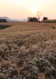 Campo dell'orzo di agricoltura Fotografie Stock Libere da Diritti