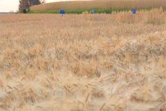 Campo dell'orzo di agricoltura Immagini Stock