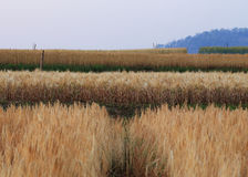 Campo dell'orzo di agricoltura Fotografia Stock