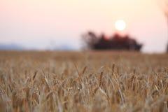 Campo dell'orzo di agricoltura Fotografia Stock Libera da Diritti