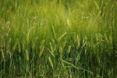 Campo dell'orzo, fondo astratto per agricoltura, mondo della natura Fotografie Stock