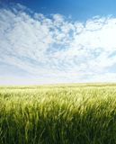 Campo dell'orzo sopra cielo blu Immagine Stock
