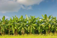 Campo della banana, azienda agricola della banana con il fondo del cielo blu Immagine Stock