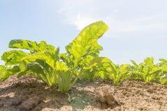Campo della barbabietola rossa Giovani piante verdi della barbabietola Fotografie Stock