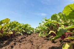 Campo della barbabietola rossa Giovani piante verdi della barbabietola Immagine Stock Libera da Diritti
