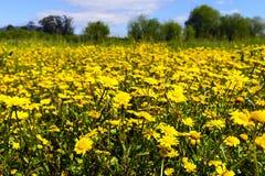 Campo della camomilla gialla Fotografie Stock Libere da Diritti
