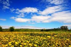 Campo della camomilla gialla Fotografia Stock Libera da Diritti