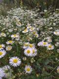 Campo della camomilla Natura dell'Ucraina Camomilla fotografia stock libera da diritti