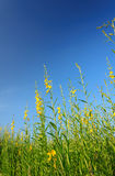 Campo della canapa delle indie con chiaro cielo blu Immagini Stock Libere da Diritti