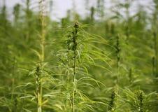 Campo della cannabis Fotografia Stock Libera da Diritti