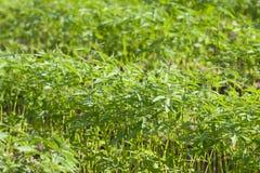 Campo della cannabis della canapa sativa immagine stock