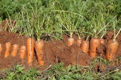 Campo della carota Fotografie Stock