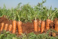 Campo della carota Immagini Stock