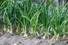 Campo della cipolla delle piante di giardino della molla del germoglio Fotografia Stock Libera da Diritti