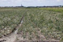 Campo della cipolla in un paesaggio di agricoltura Fotografie Stock Libere da Diritti