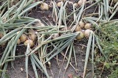 Campo della cipolla in un paesaggio di agricoltura Immagine Stock