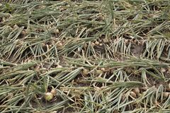 Campo della cipolla in un paesaggio di agricoltura Fotografie Stock