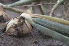 Campo della cipolla in un paesaggio di agricoltura Fotografia Stock
