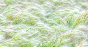 Campo della coda di volpe che soffia in vento Fotografia Stock