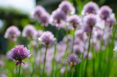 Campo della erba cipollina di fioritura Fotografie Stock