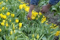 Campo della lampadina con i tulipani gialli Immagine Stock