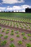 Campo della lattuga Immagini Stock