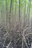 Campo della mangrovia Immagini Stock