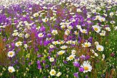 Campo della margherita con le campane del fiore Immagini Stock Libere da Diritti
