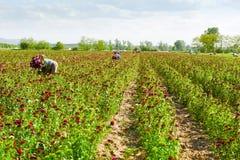 Campo della margherita del prato inglese con le raccoglitrici del fiore Fotografie Stock Libere da Diritti