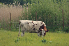 campo della mucca Fotografia Stock Libera da Diritti