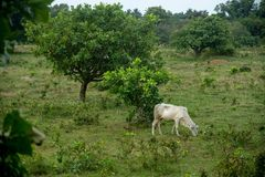 Campo della mucca nel pascolo fotografia stock