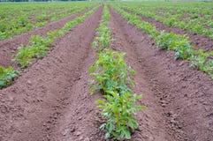 Campo della patata dell'erbaccia con cielo blu fotografia stock libera da diritti