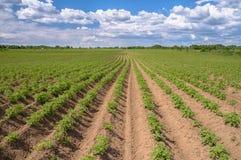 Campo della patata dell'erbaccia con cielo blu fotografia stock