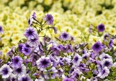Campo della petunia Fotografia Stock Libera da Diritti