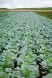 Campo della pianta del cavolo verde all'aperto di estate Immagine Stock