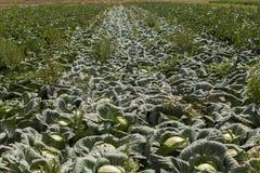 Campo della pianta del cavolo verde all'aperto di estate Fotografia Stock Libera da Diritti