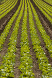 Campo della pianta del cavolo verde all'aperto di estate Immagini Stock Libere da Diritti