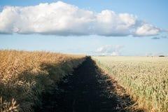 Campo della pianta del cereale con cielo blu in un giorno di estate soleggiato Immagine Stock