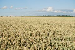 Campo della pianta del cereale con cielo blu in un giorno di estate soleggiato Immagini Stock