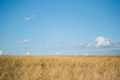 Campo della pianta del cereale con cielo blu in un giorno di estate soleggiato prima della raccolta Fotografia Stock