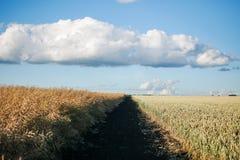 Campo della pianta del cereale con cielo blu in un giorno di estate soleggiato prima della raccolta Immagini Stock Libere da Diritti