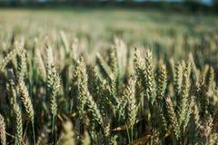 Campo della pianta del cereale con cielo blu in un giorno di estate soleggiato prima della raccolta Immagine Stock Libera da Diritti